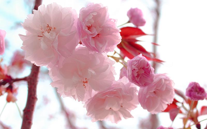 桜,花,春,四季,伝統色