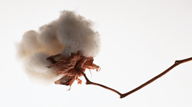 京都デニムと綿花